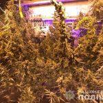 Необычное хобби: на Днепропетровщине мужчина вырастил 26 кустов конопли, — ФОТО