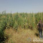 На Днепропетровщине нашли наркотики в кукурузном поле, — ФОТО