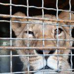 Мін'юст прилаштував урятованих на Донбасі левів і ведмедів