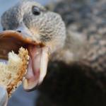 «Это убивает птиц»: в Днепре просят не кормить уток хлебом