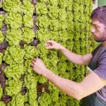 В супермаркете «Varus» в Днепре появилась вертикальная ферма